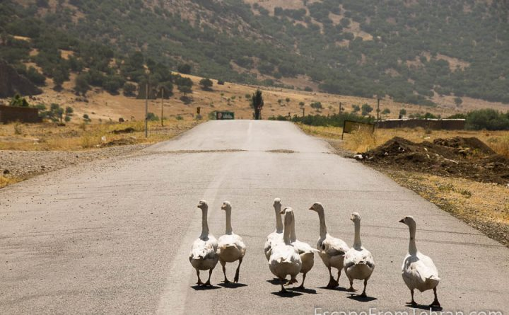 Sometimes ducks rule the roads in Lorestan, Iran